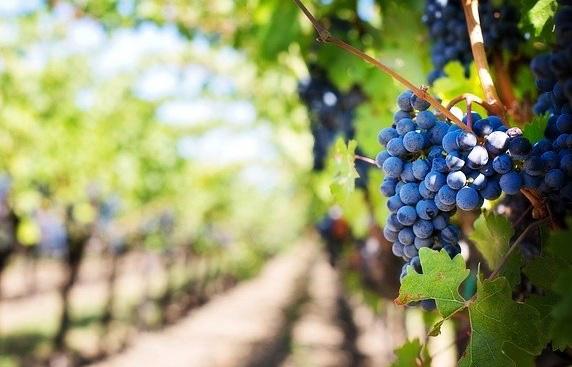 Contributo sui fondi OCM vino previsti dalla misura Investimenti: via al bando. Domande entro il 15 novembre